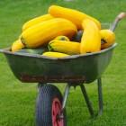 Kaip skaniai ir sveikai panaudoti gausų cukinijų derlių